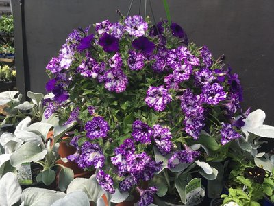 Petunia Night Sky Hanging Basket